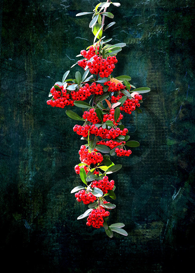 Pyracantha Berries - Do Not Eat by Debi Dalio