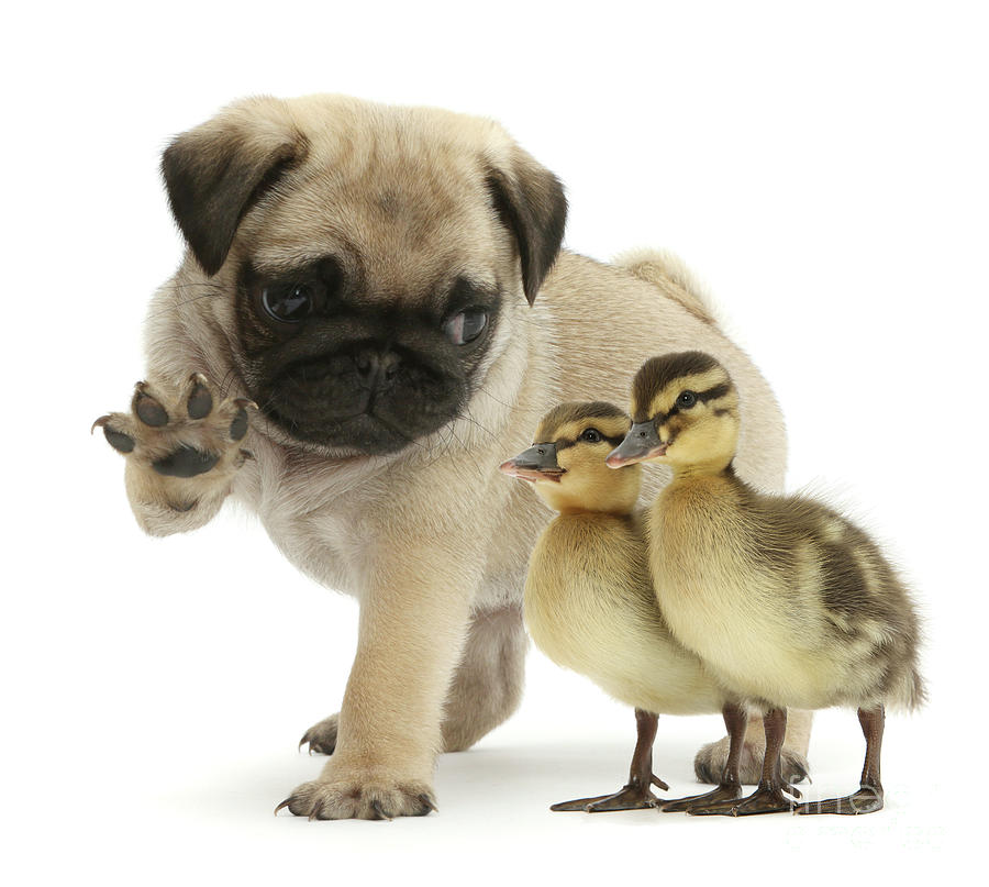 Quack quack Pug by Warren Photographic
