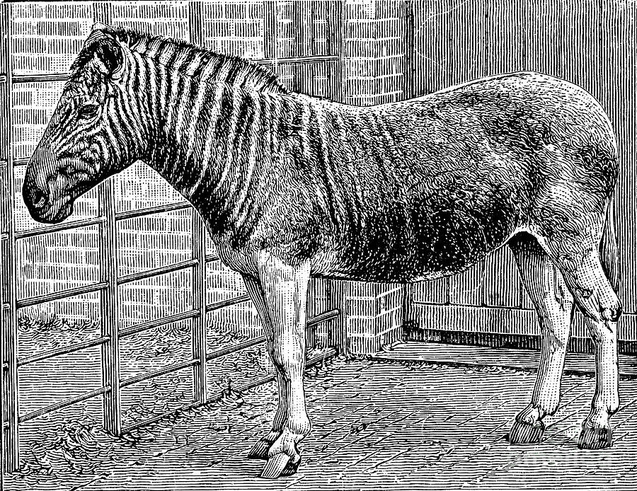 Quagga Mare In London Zoo, C1870 Drawing by Print Collector
