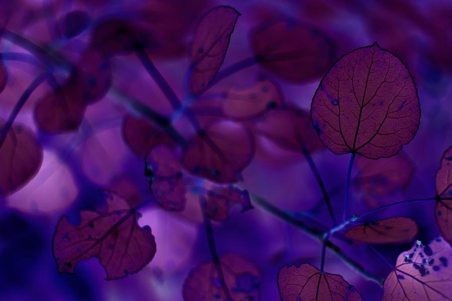 Quaking Aspen in Purple by AJP