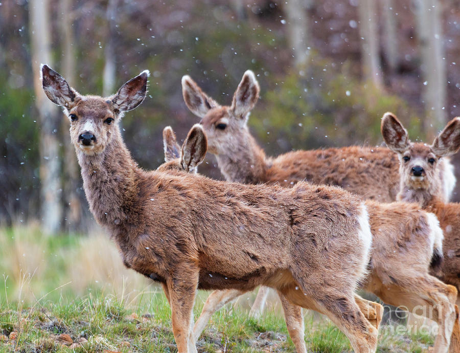 Quartet Of Mule Deer Herd On A Snowy Morning Photograph