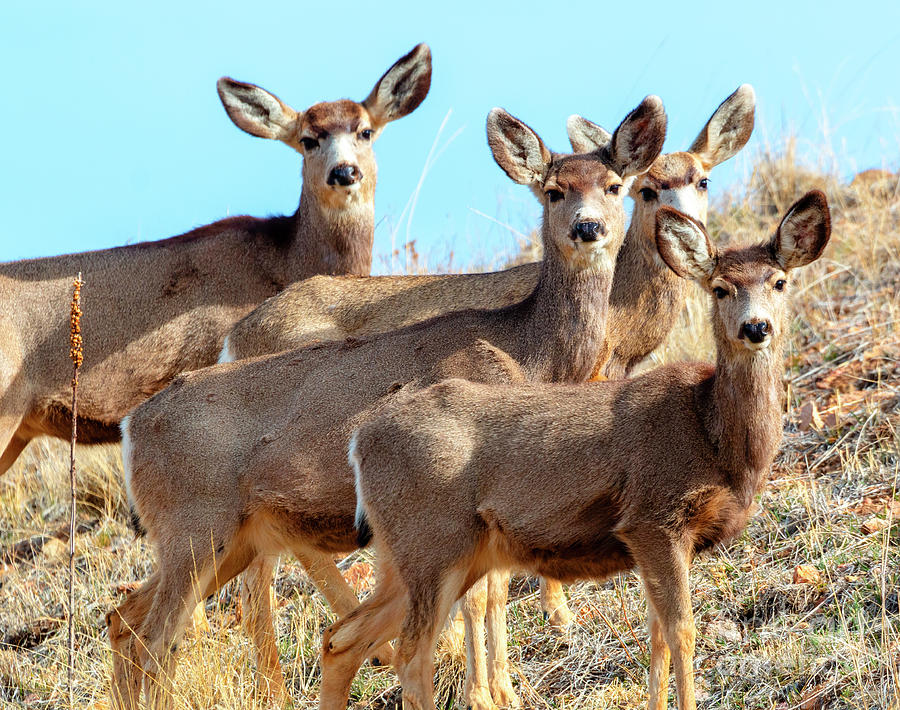 Quartet Of Mule Deer In The Rocky Mountain Springtime Photograph