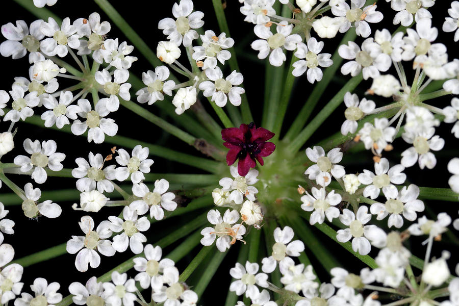 Queen Anns Lace 8241901 by Rick Veldman