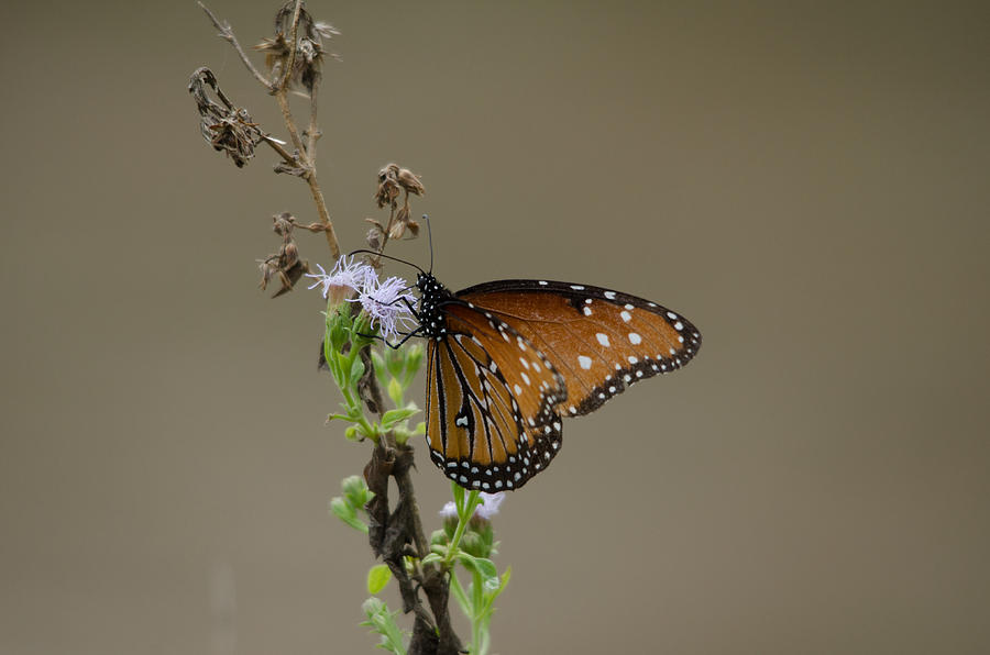 Queen Butterfly Photograph
