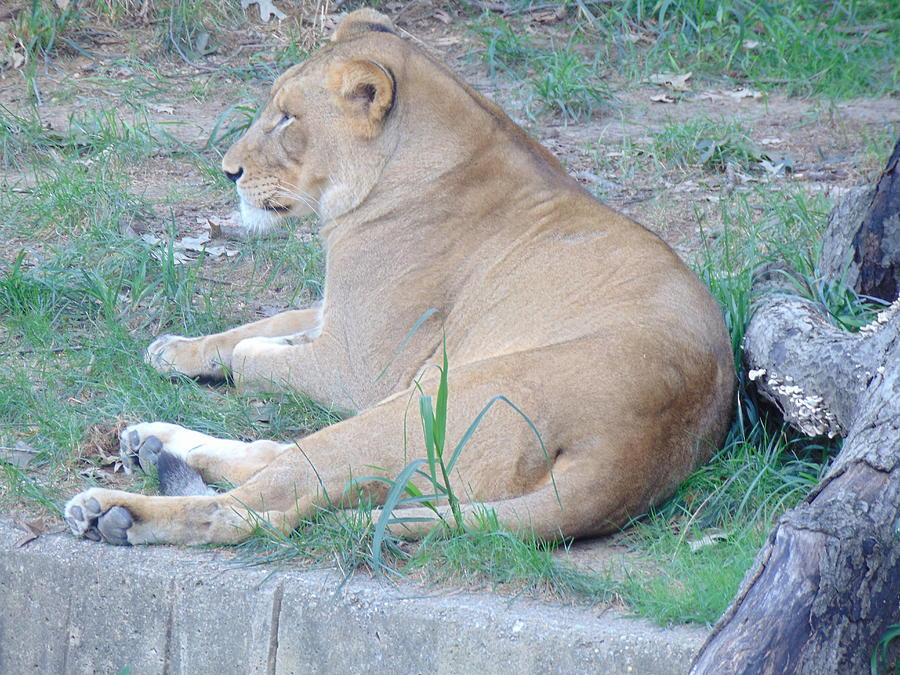 Queen Lioness by Antonio Moore