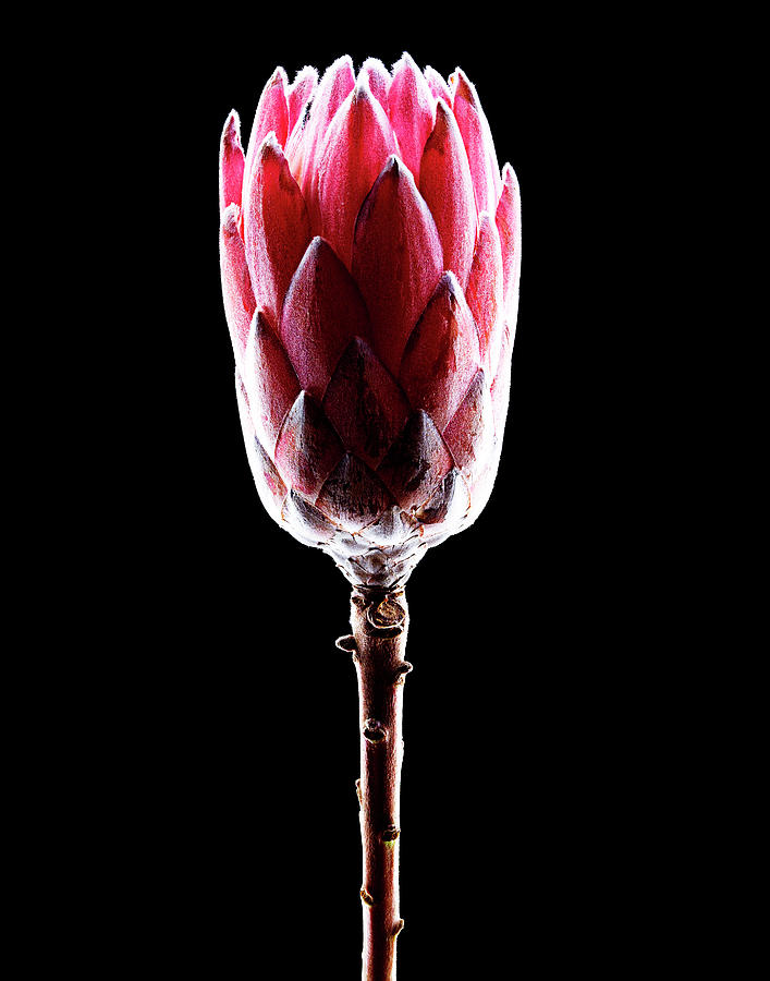 Queen Protea Side Photograph by Chris Stein