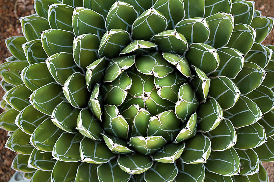 Queen Victoria's Agave Photograph by Gh01