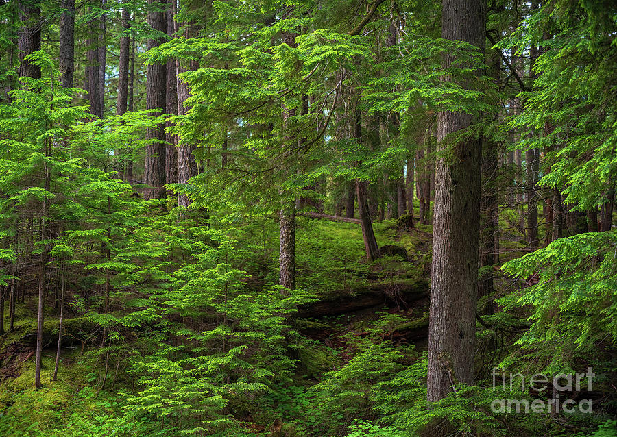 Quiet Forest Layers Photograph