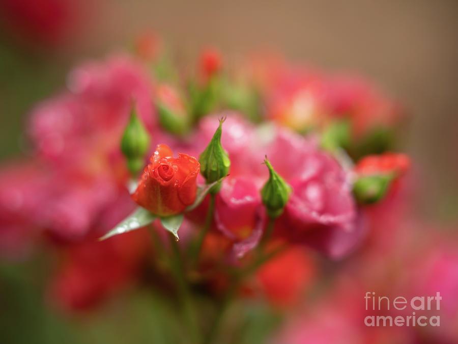 Quiet Roses Dream Cinco De Mayo Photograph
