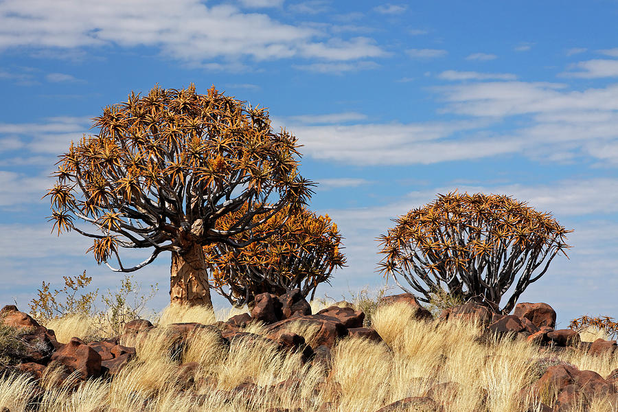 Quiver Tree Forest - Namibia Photograph by Jlr