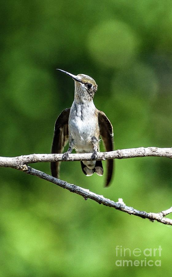 Quizzical Ruby-throated Hummingbird by Cindy Treger