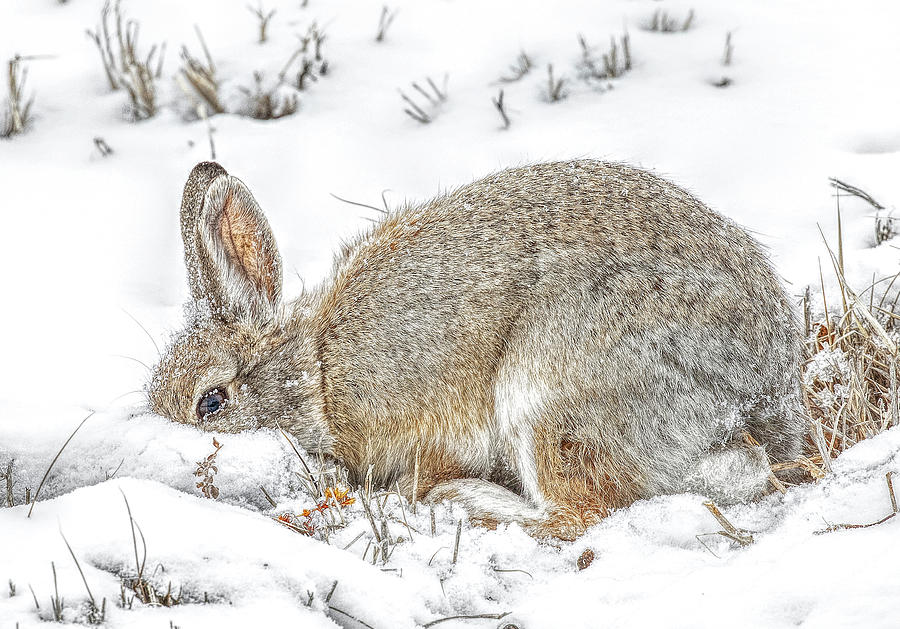 Rabbit Digging for food after a snow storm by Lowell Monke