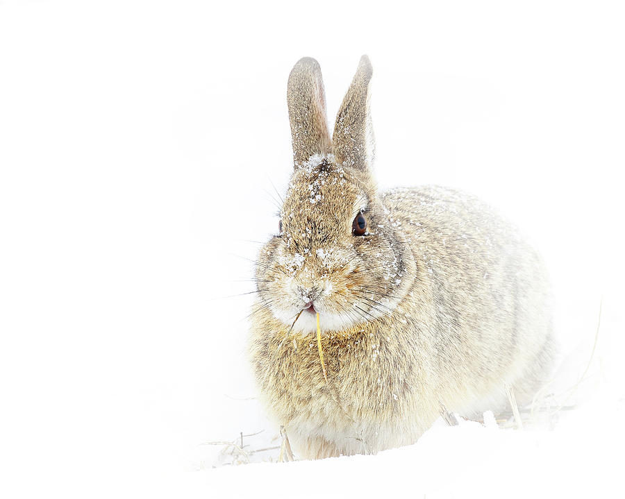 Rabbit Eating in a White Out by Lowell Monke