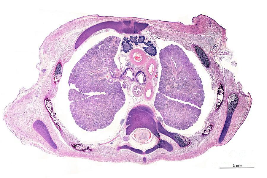 Rabbit Embryo Photograph by Jose Calvo/science Photo Library