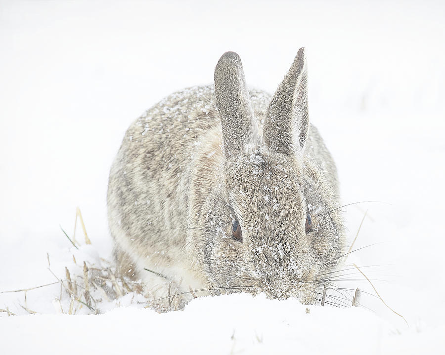 Rabbit Foraging after a Snow Storm by Lowell Monke