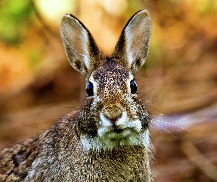 Rabbit Photograph by Hvargasimage
