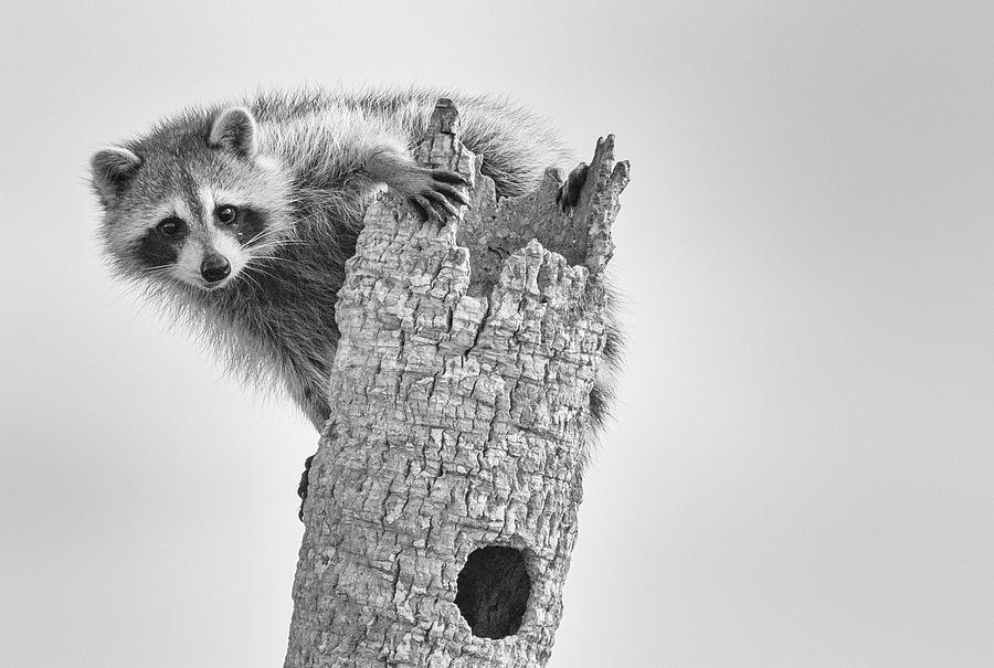 Raccoon  by Georgia Wilson