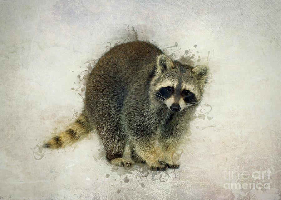 Raccoon by Ian Mitchell