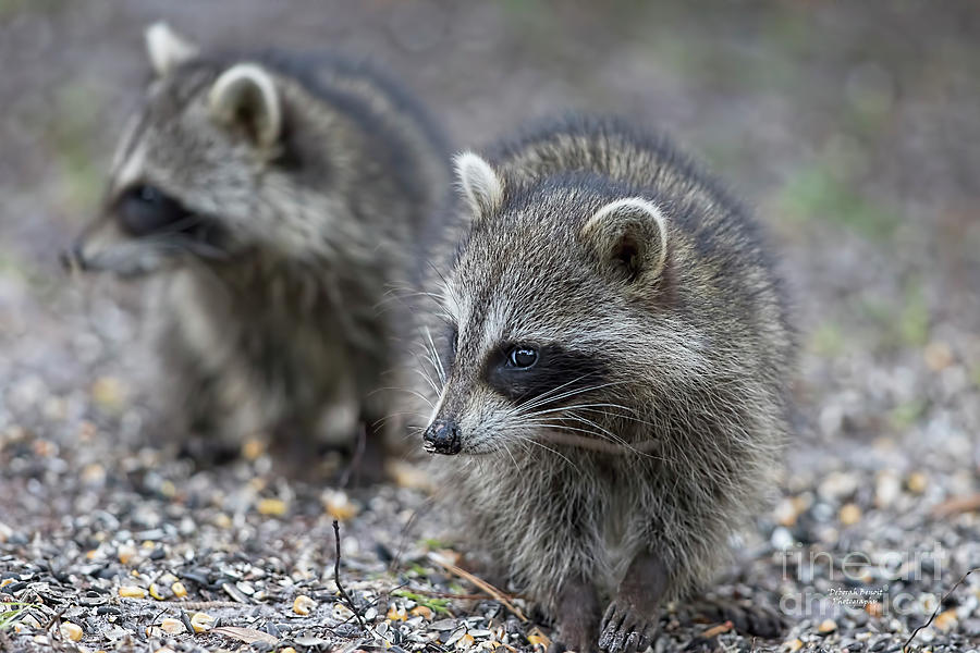 Raccoon Siblings by Deborah Benoit
