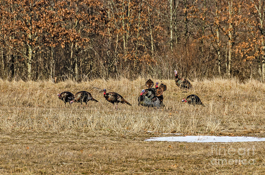 Rafter of Wild Turkeys by Sue Smith