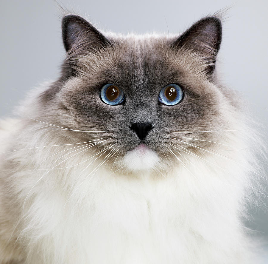 Ragdoll Cat, Close-up, Portrait Photograph by Thomas Barwick