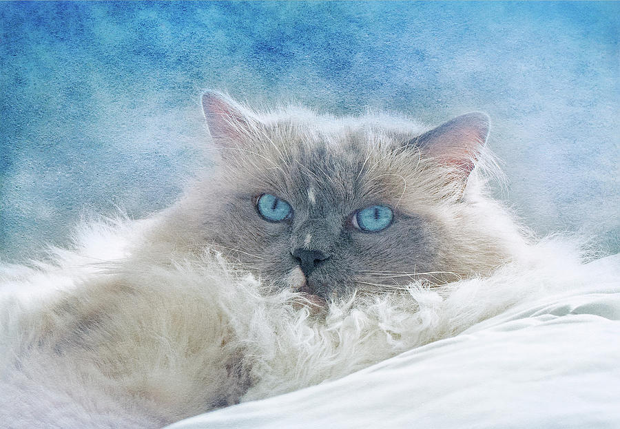 Ragdoll Cat Portrait by Lowell Monke