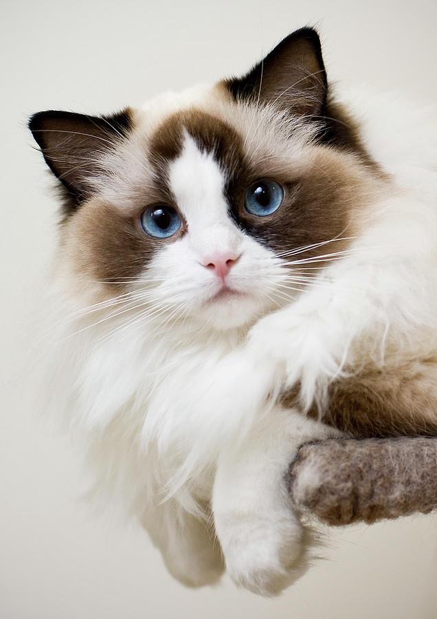 Ragdoll Kitten Photograph by Photograph © Jon Cartwright
