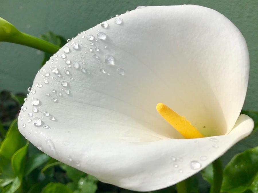 Rain Drops On A Petal by Dan Twomey