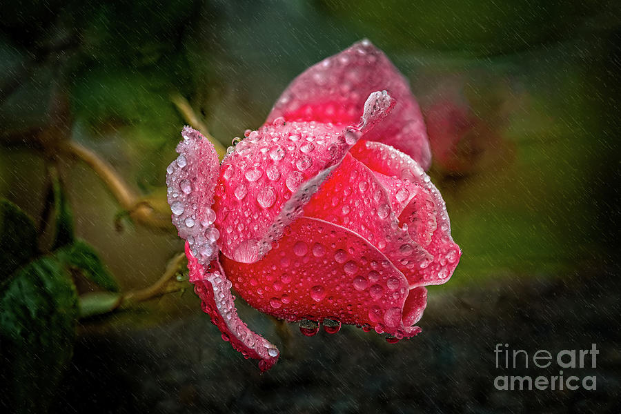 Rain Drops On A Rose by Adrian Evans