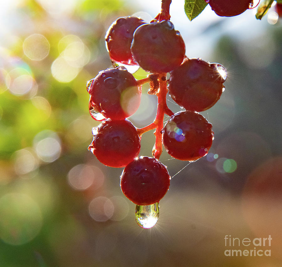Rain Drops On Choke Cherries by Gary Beeler
