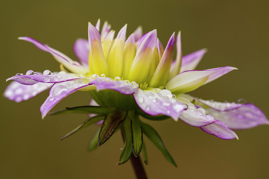 Rain Drops on Dahlia by Robert Potts