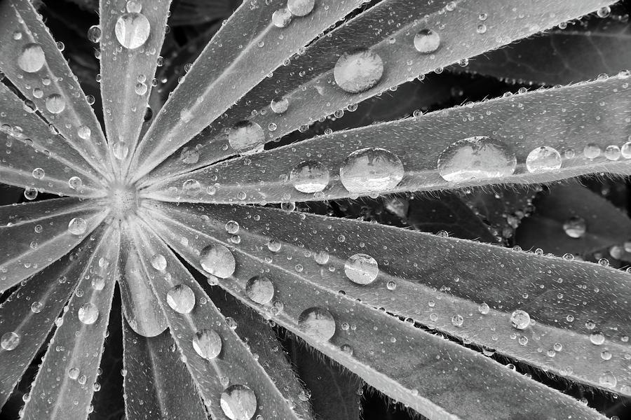 Closeup Photograph - Rain Drops On Lupin by David Patton