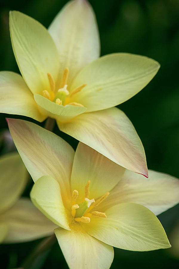 Rain Lily Duo By Tl Wilson Photography by Teresa Wilson