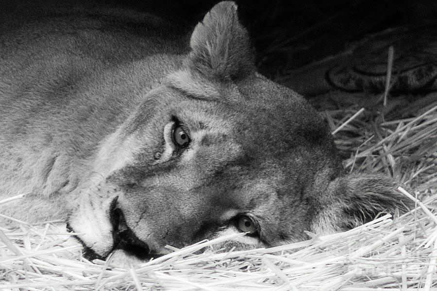 Rain Rain Go Away - Lioness On  A Rainy Day by Carolyn Parker
