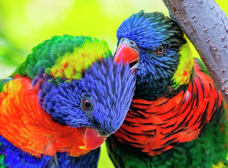 Rainbow Lorikeet Pair by Lowell Monke