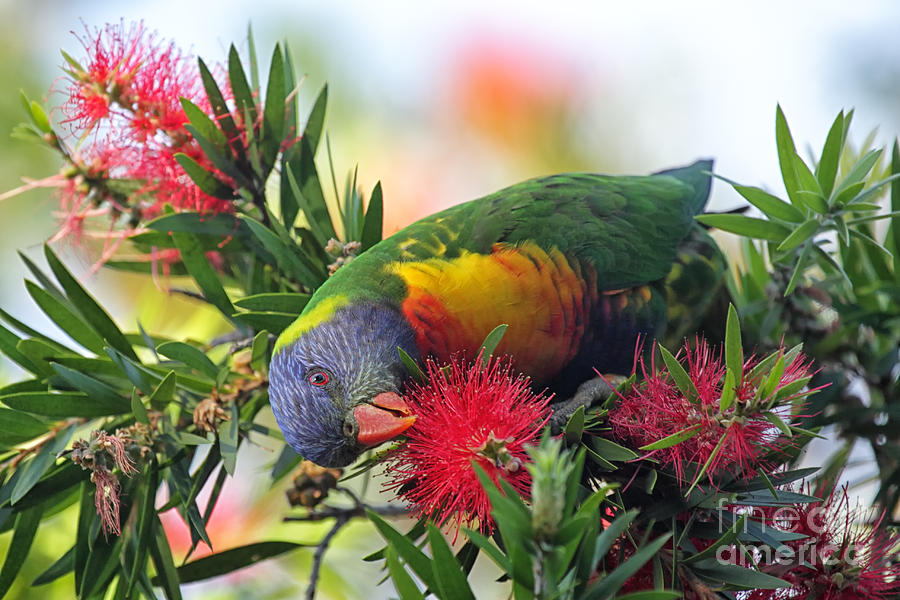 South Photograph - Rainbow Lorikeet Trichoglossus by Dirkr