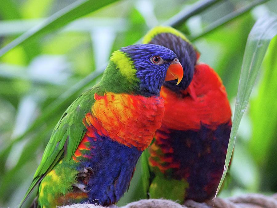 Rainbow Lorikeets Photograph
