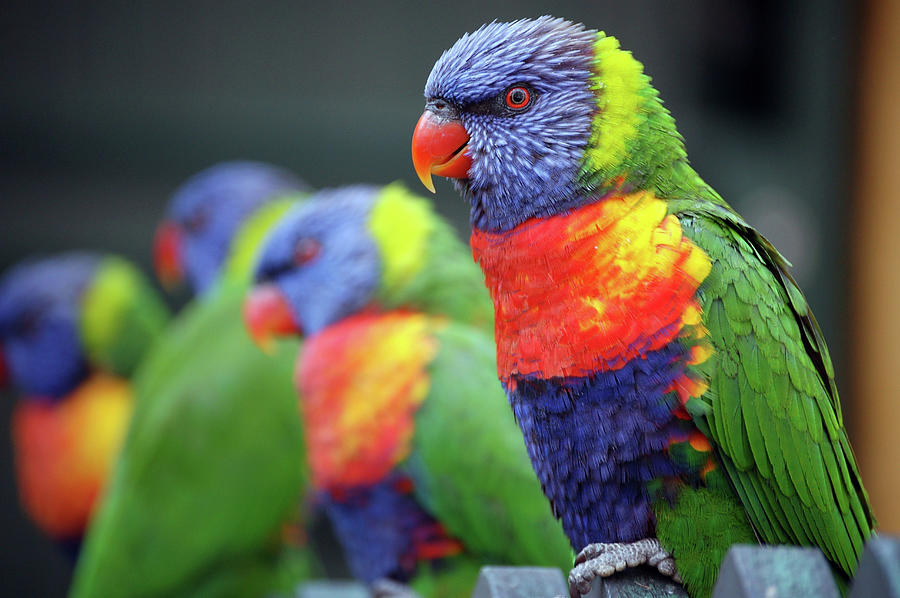 Rainbow Lorikeets On A Perch Photograph by Win-initiative