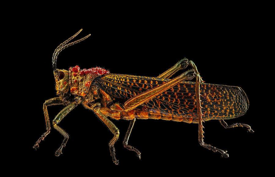 Rainbow Milkweed Locust by Gary Shepard