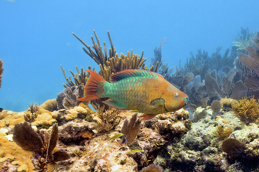Rainbow Parrot Fish by Paula Porterfield-Izzo