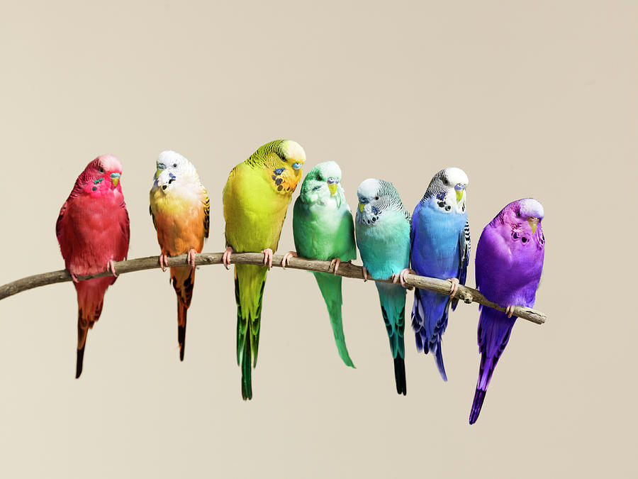 Rainbow Row Of Budgies Sat On A Branch Photograph by Walker And Walker