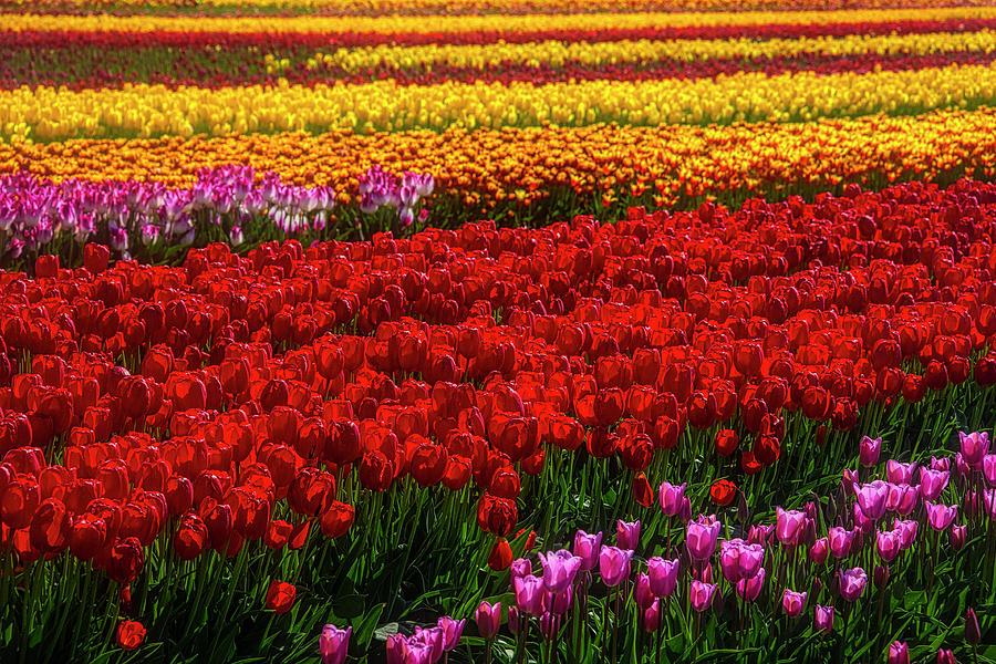 Tulip Photograph - Rainbow Tulips by Garry Gay