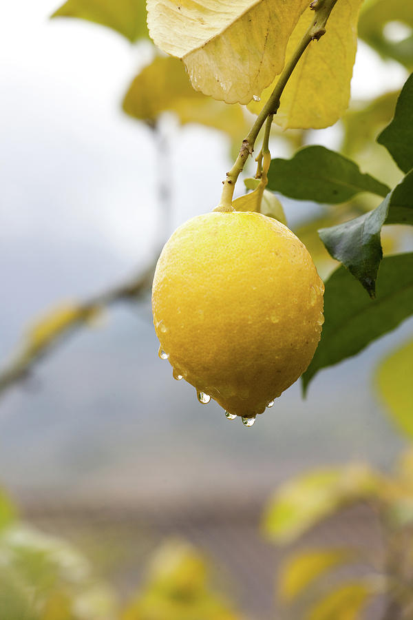 Raindrops Dripping From Lemons Photograph by Guido Mieth
