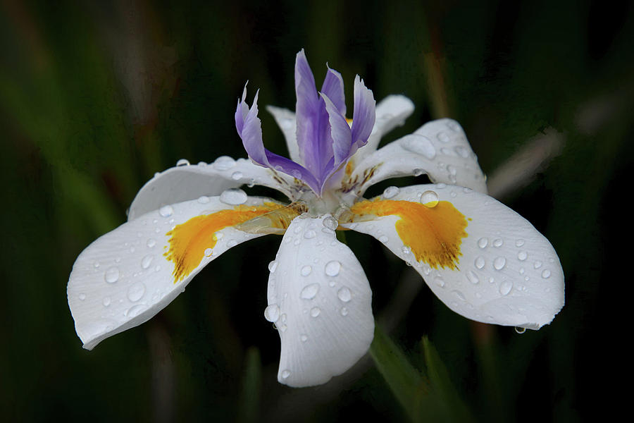 Raindrops on an Iris by Diana Haronis