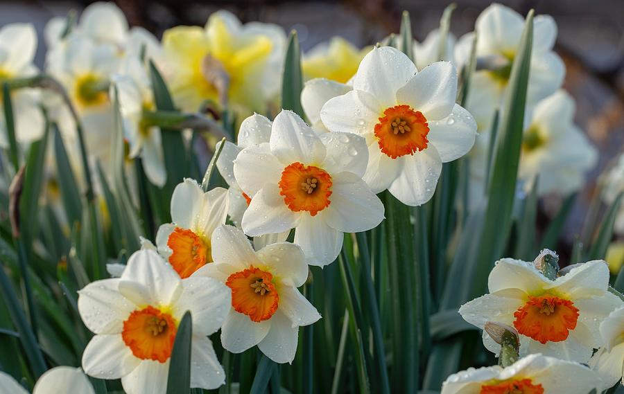 Raindrops on the daffodils by Lynn Hopwood