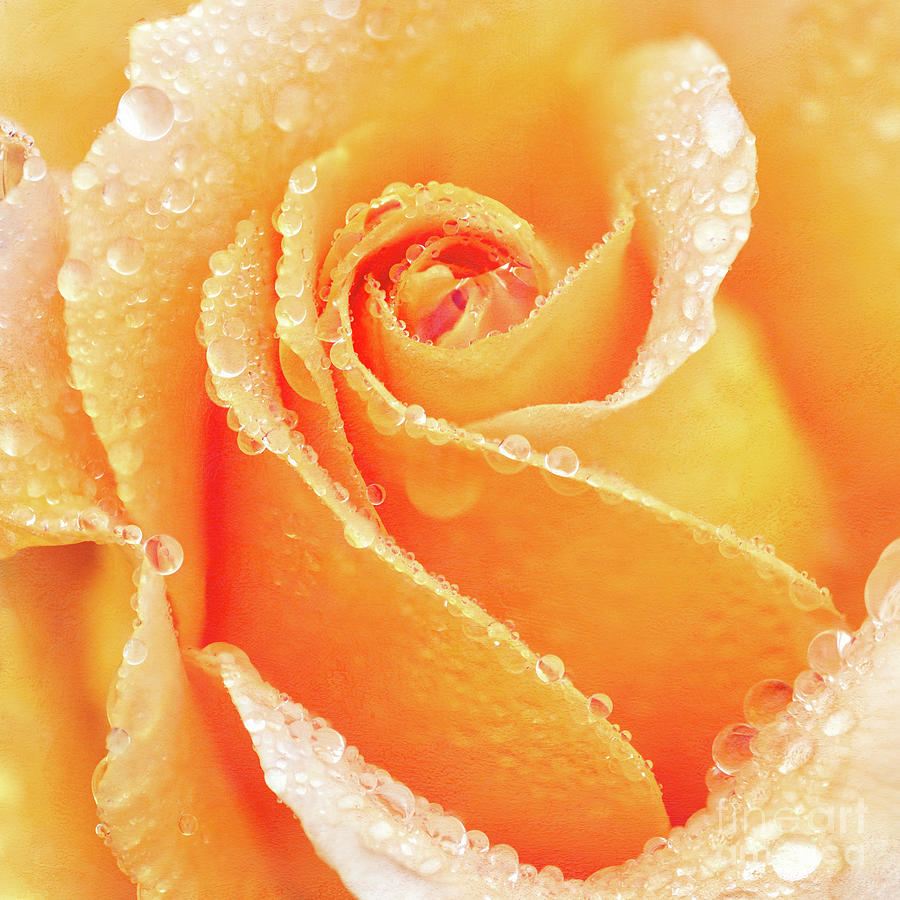 Raindrops on the Heart of a Yellow Rose by Anita Pollak