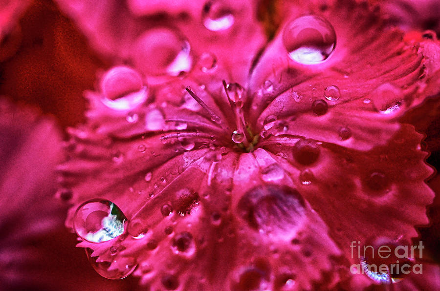 Raindrops Pink Flower by Thomas R Fletcher