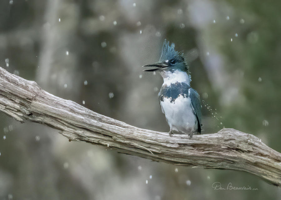 Rainsoaked Kingfisher 4634 by Dan Beauvais
