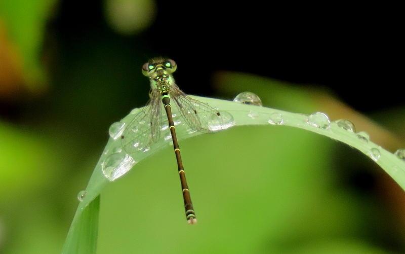 Rainy Day Damselfly by Betty Berard