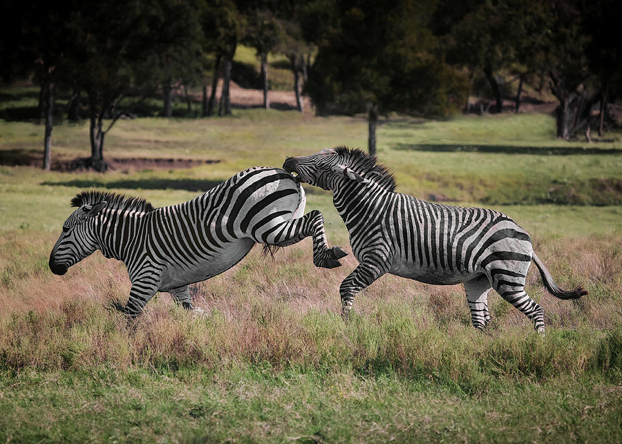 Rambunctious Zebras by My Photography Adventure